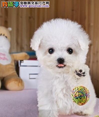 上海精品家养茶杯玩具型各色泰迪犬健康签协议可上门选