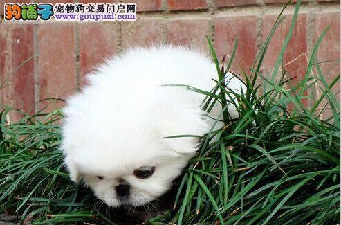 成都犬舍隆重推出优雅、精致的京巴狗狗