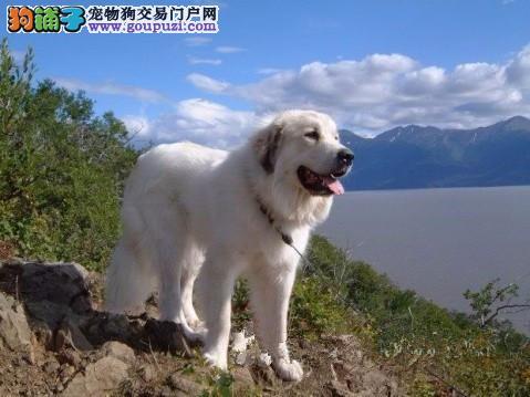 苏州纯血统繁殖超大骨量赛级双冠大白熊幼犬出售