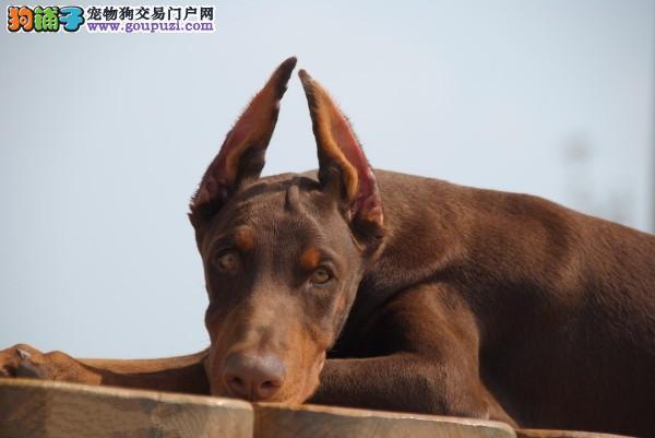 石河子精品高品质杜宾犬宝宝热销中签订保障协议