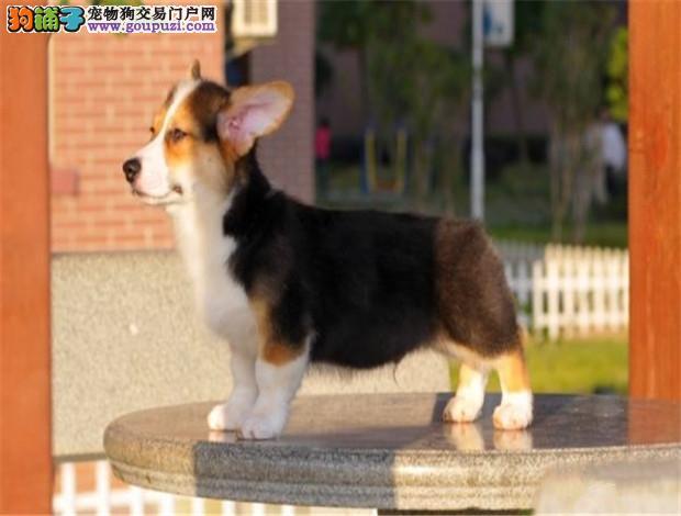 顶级纯种柯基幼犬 纯种健康专业狗场繁殖2