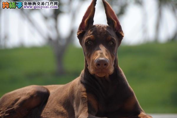 买纯种德系杜宾犬三年联保/签协议