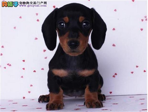 基地直销腊肠幼犬 纯种健康质保 签订协议