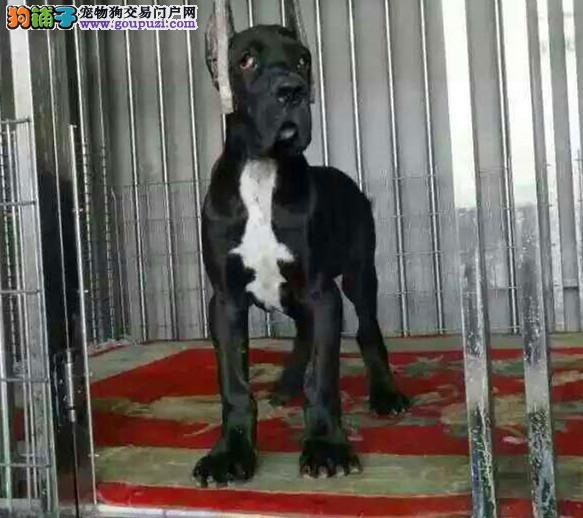 犬舍直销品种纯正健康三亚大丹犬国际血统证书图片