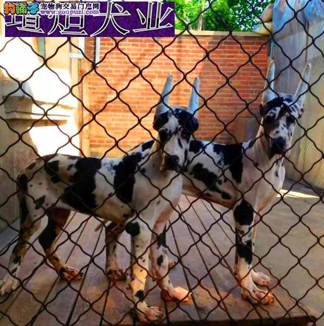 CKU犬舍认证长沙出售纯种大丹犬终身完善售后服务1