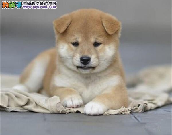 吐鲁番售日系柴犬品相完美公母都有礼品多纯种柴犬包退换
