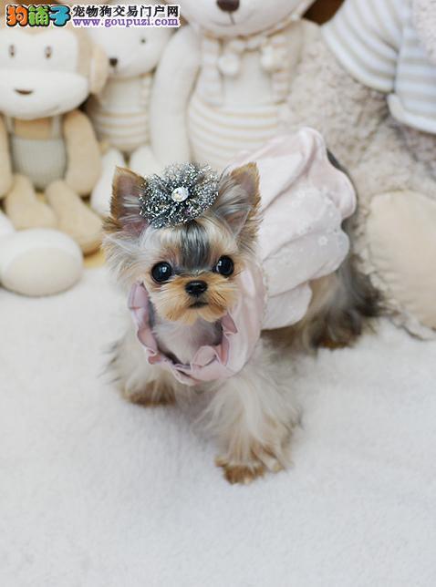 高品质约克夏长沙出售约克夏梗犬幼犬公母都有可挑选