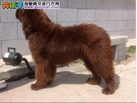 宁波出售纽芬兰犬纯种纽芬兰犬多少钱一只免费饲养指导1