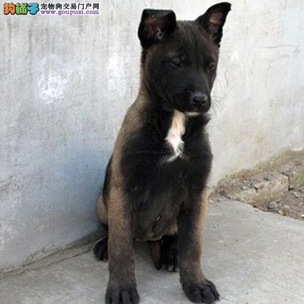 贵阳CKU认证犬舍哪里有卖高品质马犬一宠一证视频挑选