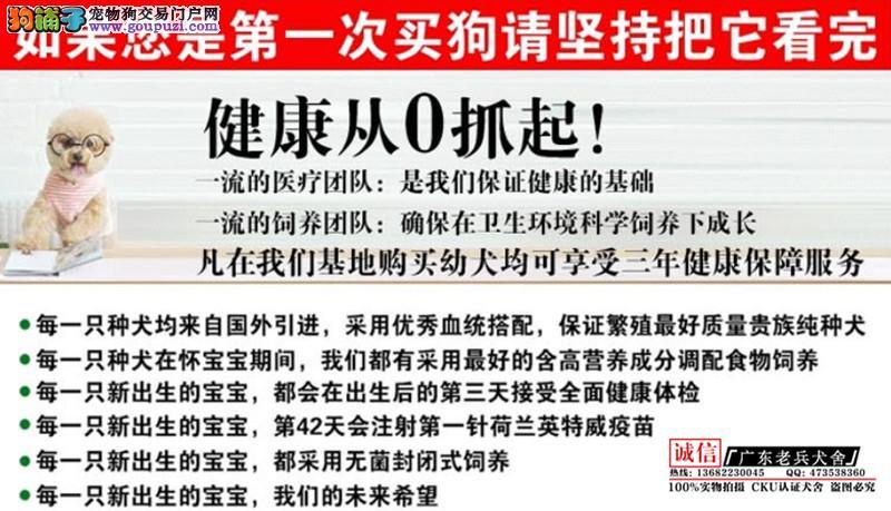 广东老兵犬舍 出售高品质小泰迪 疫苗做完 质量三包
