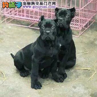 成都正规犬舍高品质卡斯罗犬带证书爱狗人士优先狗贩勿扰1