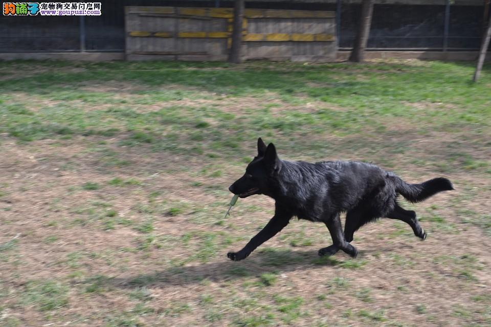 CKU认证犬舍 专业出售极品 比牧幼犬多种血统供选购
