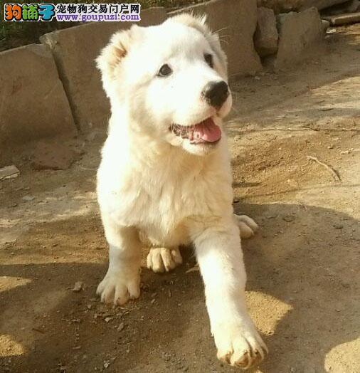 渭南市出售中亚牧羊犬 公母都有 包六个月健康 包售后