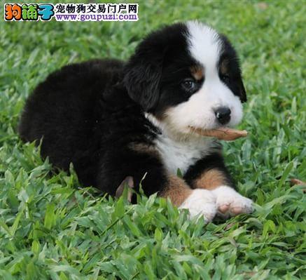 雅安市出售伯恩山犬幼犬 公母都有 高品质 包健康纯种