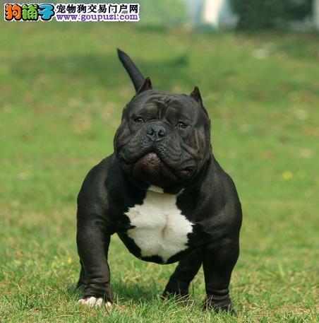 热销多只优秀的纯种美国恶霸犬幼犬签订终身协议