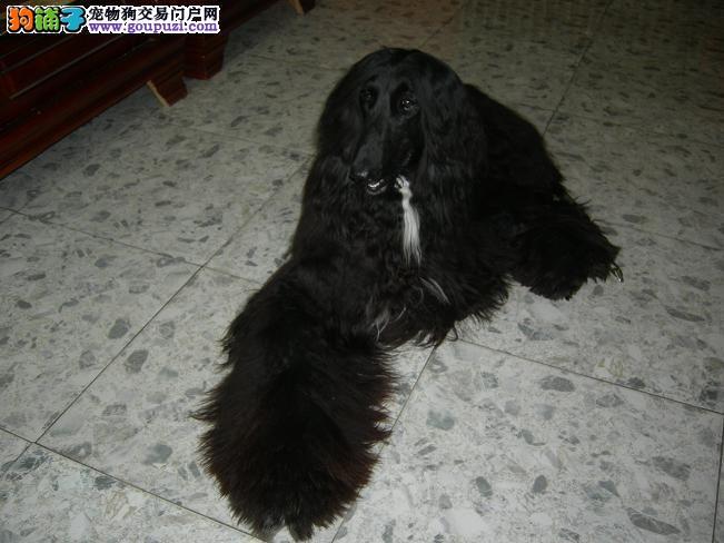 繁殖基地出售多种颜色的阿富汗猎犬喜欢的别错过1