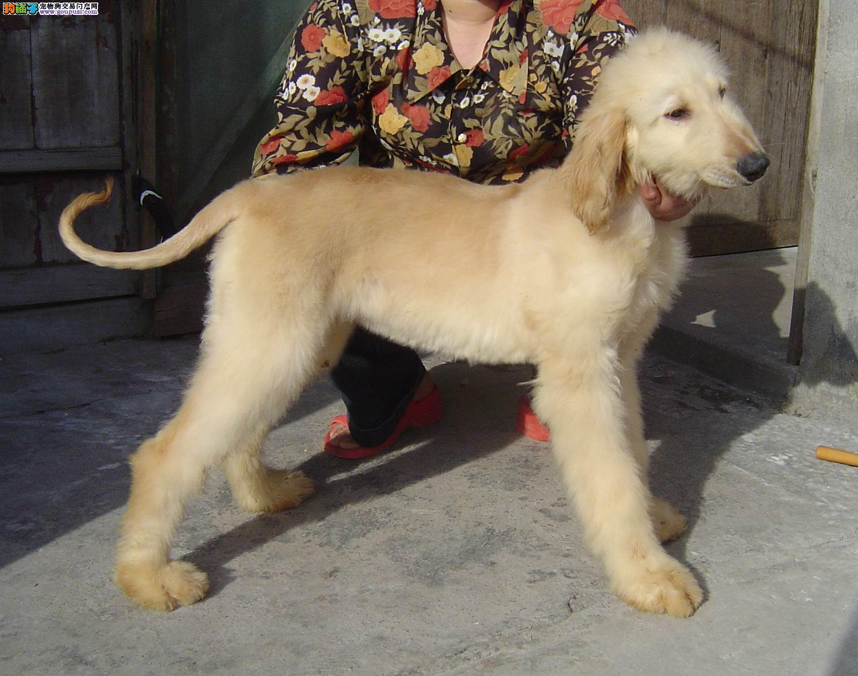 热销阿富汗猎犬幼犬 实物拍摄直接视频 全国空运到家
