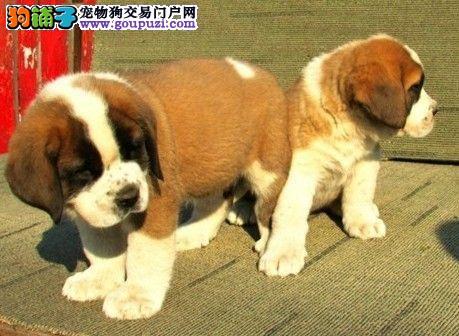 正宗极品遵义圣伯纳绝对血统纯正爱狗人士优先