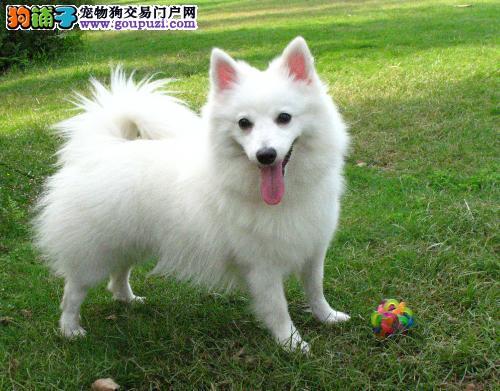 潍坊出售可爱乖巧活泼美丽的小精灵白银狐犬幼犬宝宝