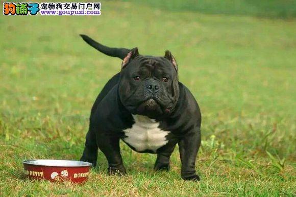 贵阳市出售美国恶霸犬 三个月包退换 全国包邮 包养活