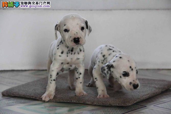 成都出售斑点狗幼犬品质好有保障成都市内免费送货