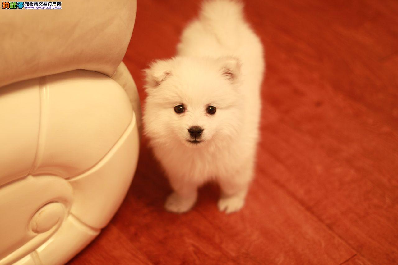 纯种血系银狐幼犬骨量超大超帅气CKU血统健康疫苗全