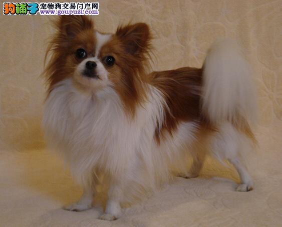 可爱漂亮的蝴蝶犬,成为 您的专属朋友