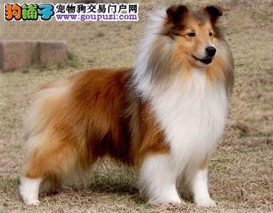 喜乐蒂犬的生活习性简介和饲养常识