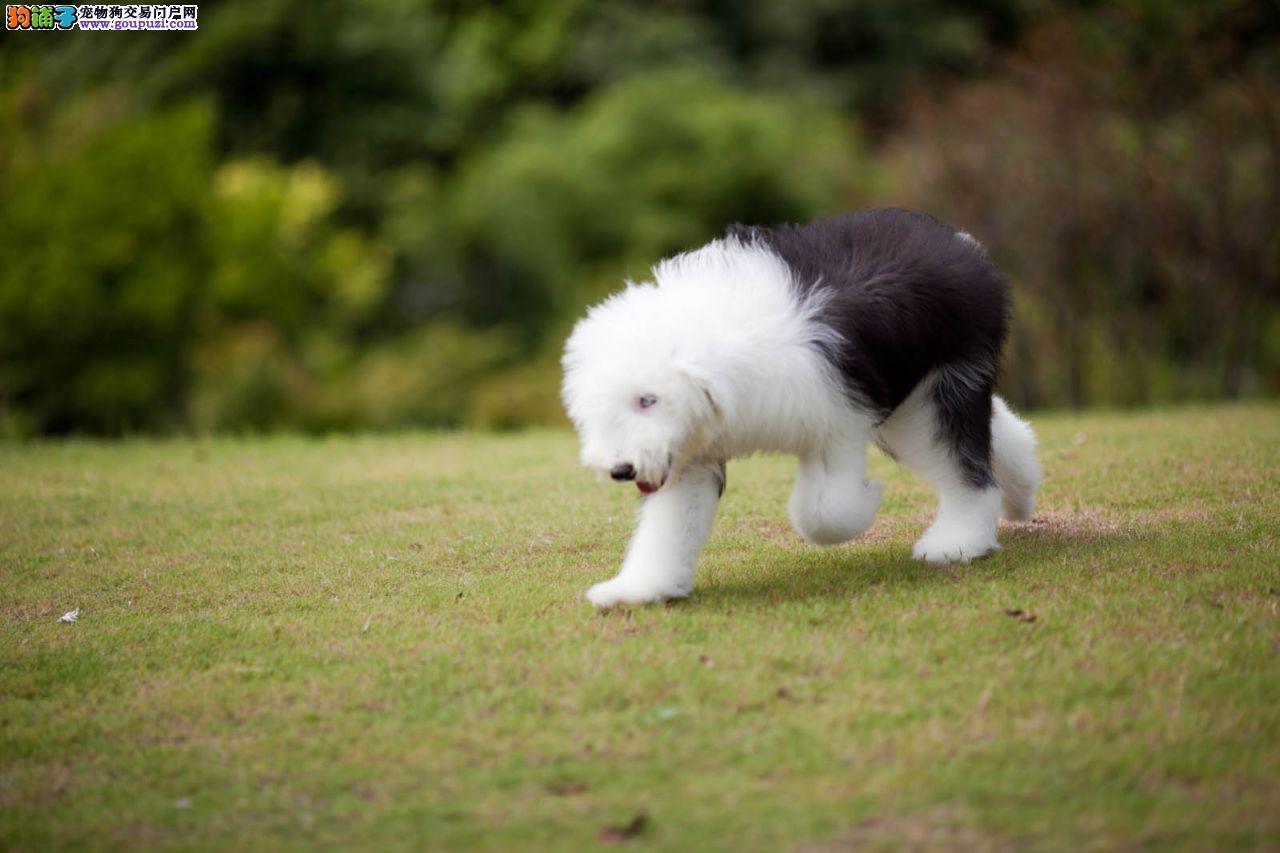 出售古代牧羊犬幼犬品质好有保障专业繁殖中心值得信赖