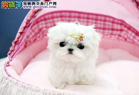 杭州实体店出售纯种漂亮的马尔济斯幼犬 可上门选购
