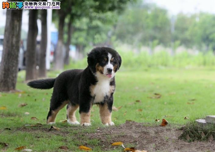 为你介绍购买伯恩山犬的好方法