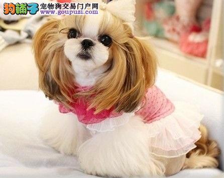 专业正规犬舍热卖优秀西施犬微信咨询欢迎选购2