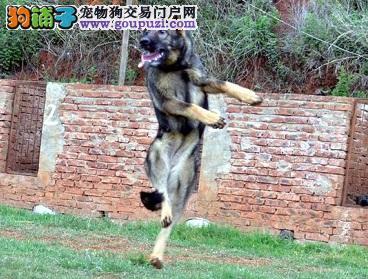 多种颜色的昆明犬找爸爸妈妈签订协议包细小犬瘟热2