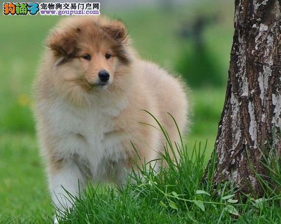 秦皇岛自家狗场繁殖直销苏牧幼犬CKU认证绝对信誉保障