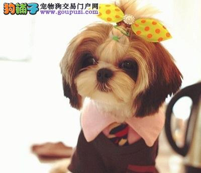 CKU认证犬舍出售高品质西施犬价格美丽非诚勿扰