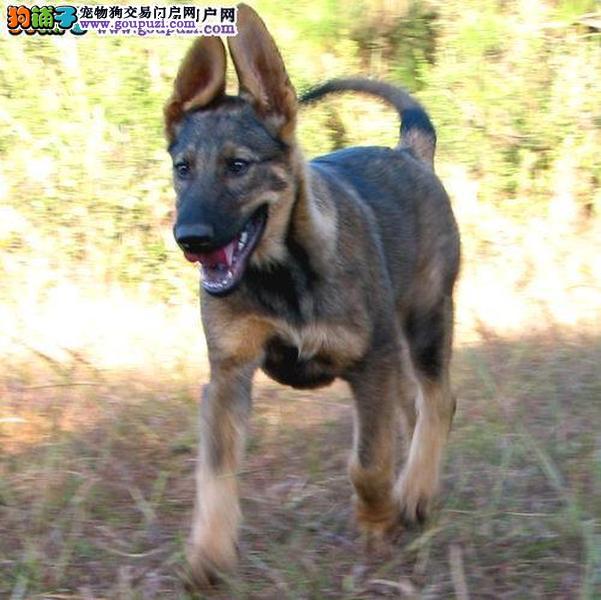精品赛级昆明犬、CKU认证品质、签订终身合同3