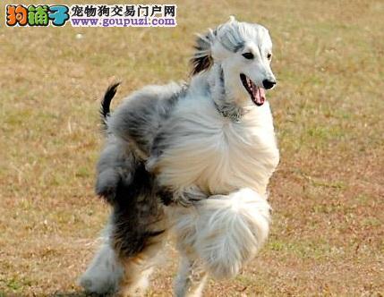 自贡繁育出售阿富汗猎犬幼犬健康纯种疫苗齐全售后保障