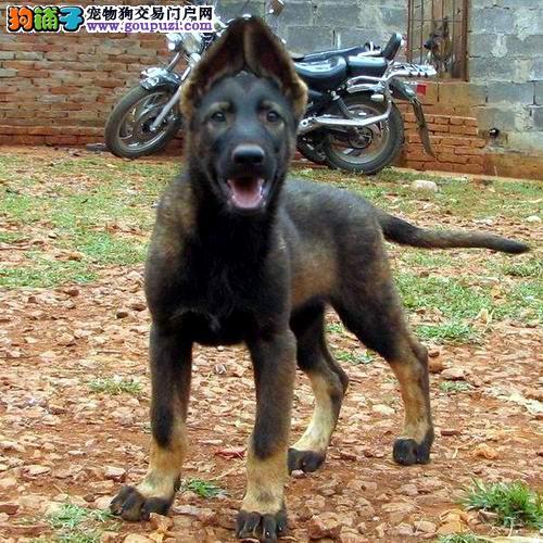 最大犬舍出售多种颜色昆明犬可签合同刷卡