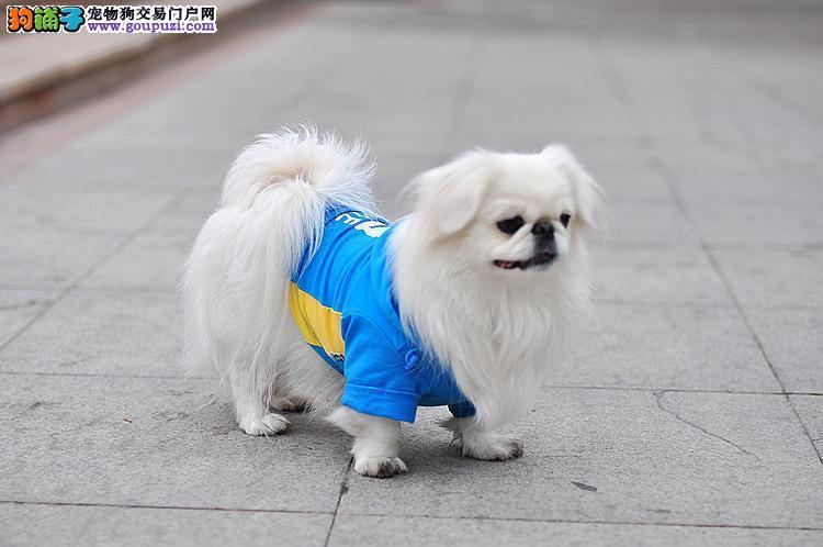 上海纯血统京巴幼犬疫苗做齐保纯种健康基地出售高品质