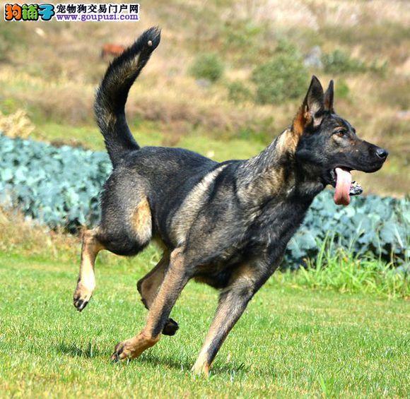 正规犬舍高品质昆明犬带证书质保协议疫苗驱虫齐全