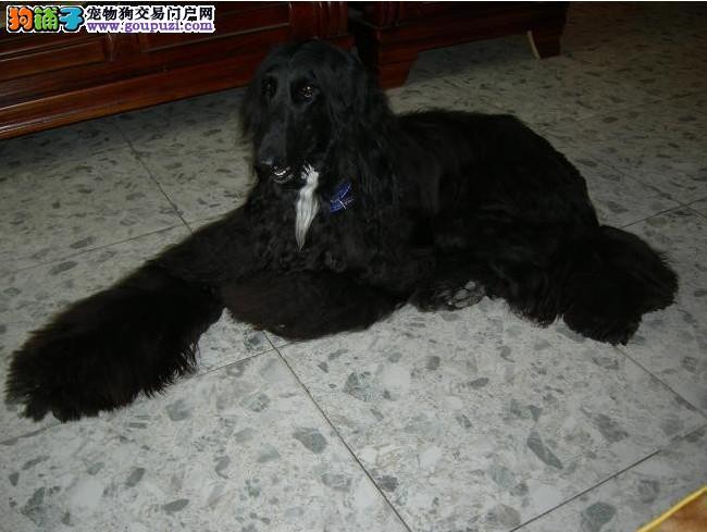 专业正规犬舍热卖优秀阿富汗猎犬优质服务终身售后2