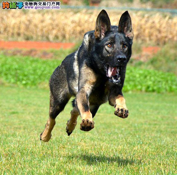高品质昆明犬宝宝、专业繁殖包质量、三年质保协议1