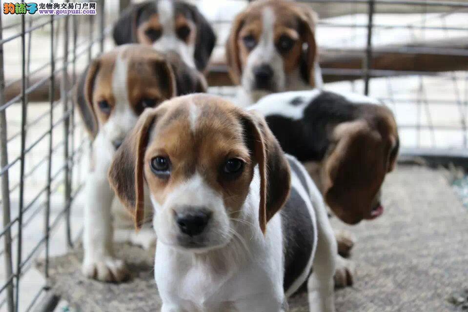 成都哪里有纯种健康的比格幼犬卖成都比格多少钱一只?2