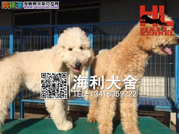 巨型贵宾幼犬出售中 驱虫防疫已做完 健康有保障1