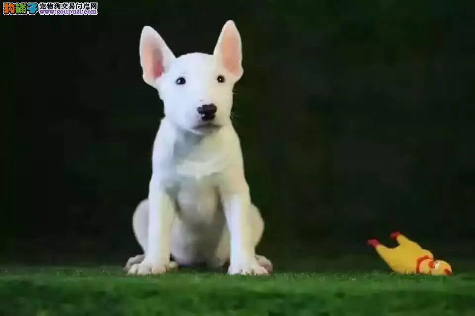 出售纯种健康的郑州牛头梗幼犬以品质惊世人