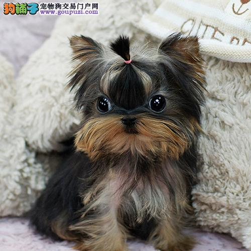 武汉韩版超小体约克夏犬金头银背 茶杯体约克夏梗幼犬