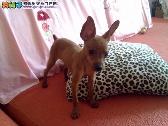 重庆迷你体型小鹿犬铁包金棕色小鹿犬健康出售有保障