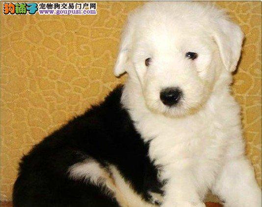 古代牧羊犬北京最大的正规犬舍完美售后支持全国空运发货