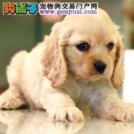 杭州哪里有可卡犬出售 杭州可卡多少钱一只