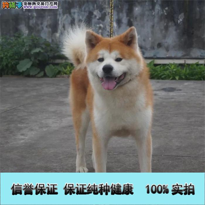 冠军级血统日本秋田犬 国外登陆冠军级后代 国